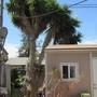Yucca elephantipes (Giant yucca)