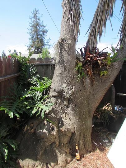 The trunksation... (Yucca elephantipes (Giant yucca))