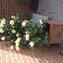 Abundance Rose