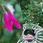 Salvia_buchananii