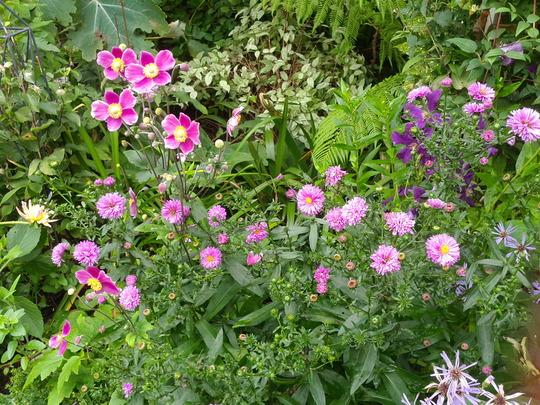 Asters and Anemones.... (Anemone hupehensis (Japanese anemone) Hadspen Abundance)