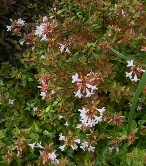 Abelia grandiflora 'Kaleidoscope' - 2016 (Abelia grandiflora 'Kaleidoscope')