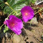 Calandrina flowers. (Calandrinia grandiflora)
