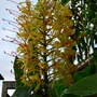 Only two flowers this year.... (Hedychium gardnerianum (Ginger Lily))