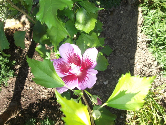 Hibiscus Syriacus 'Purple Pillar' thought I would give this slim Hibiscus a go  (Hibiscus syriacus (Gurhul))