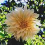 "My favorite large dahlia ""cafe au lait"""
