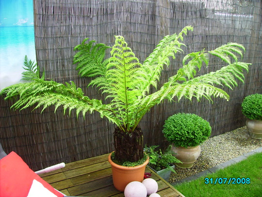 My Beautifull Tree Fern