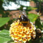 Busy bees (Buddleja davidii (Butterfly bush))