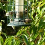 """a late """"charm """" of Goldfinches"""