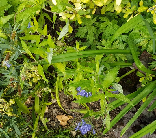 Caryopteris Worcester Gold... (Caryopteris x clandonensis Worcester Gold..)