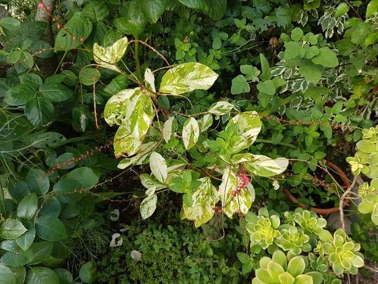 Persicaria flowers.... (Persicaria amplexicaulis (Red Bistort))