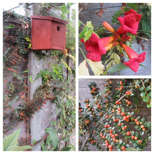 First and Second Fence Panels (Cotoneaster horizontalis (Cotoneaster))