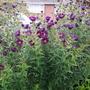 Symphyotrichum nova-angliae Violetta