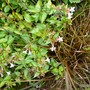 Abelia grandiflora is lovely in September (Abelia grandiflora)