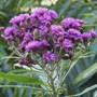 Vernonia Gigantea (vernonia)