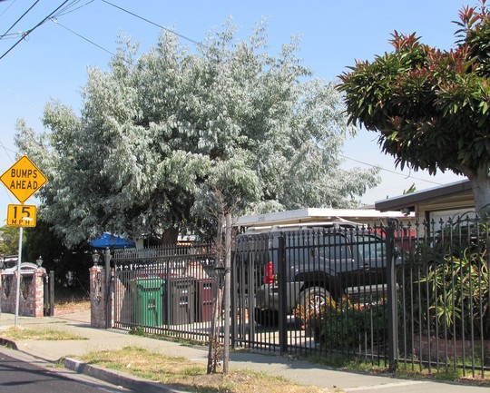 This is what I spotted a block away.. (Eucalyptus cinerea)