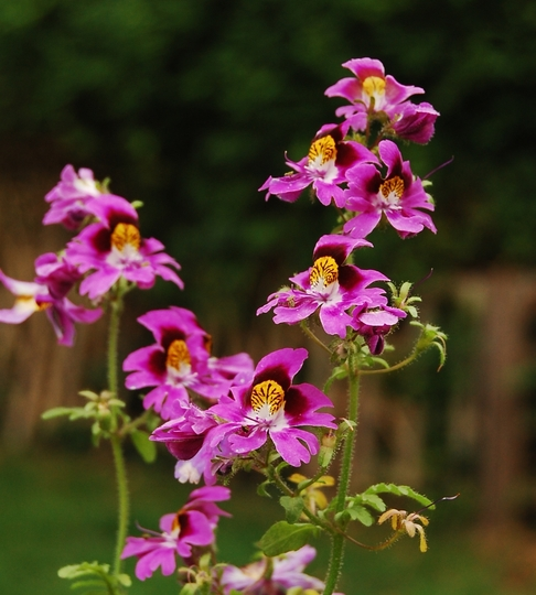 Schizanthus pinnatus (Schizanthus pinnatus (Poor Man's Orchid))