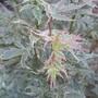 "Japanese Maple ""Butterfly"" (Acer palmatum) (Acer palmatum 'Butterfly')"