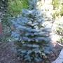 Picea pungens 'Baby Blue'  (Picea pungens 'Baby Blue')