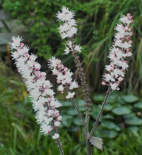 Cimicifuga Racemosa (Cimicifuga racemosa (Black Cohosh))