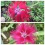 Dianthus superbus 'Crimsoniana' (Dianthus superbus (Crimsonia Pink))