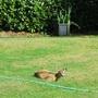 Deer_resting
