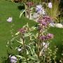 Eupatorium 'Pink Elegance' (Eupatorium maculatum (Joe Pye weed))
