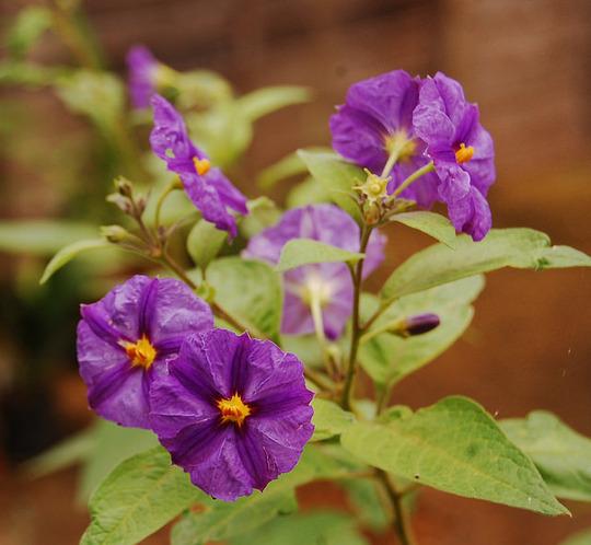 Solanum rantonnetii (Solanum rantonnetii (Royal Robe))