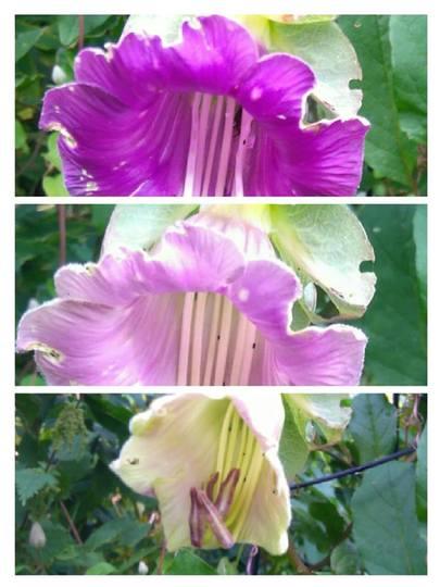 Colour changing Cobaea...