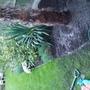 14746535440781486076970 (Trachycarpus fortunei (Chusan palm))