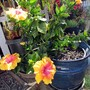 Another photo of 'Enlightenment' Hibiscus. part 2 (Hibiscus rosa-sinensis (Chinese Hibiscus))