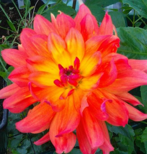 Dahlia 'Firepot'....suitably named