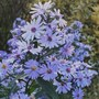 Aster 'Little Carlow' (Aster)