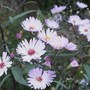 Aster 'Les Moutiers' (aster)