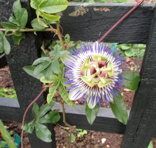 Pashion flower. (Passiflora caerulea (Passion flower))