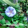 Morning Glory (Pale blue) on balcony railings 17th September 2016 001