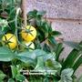 Cherry tomatoes on balcony 24th September 2016 007 (Solanum lycopersicum (Tomato))