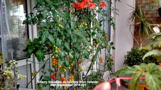 Cherry tomatoes on balcony from outside 24th September 2016 001 (Solanum lycopersicum (Tomato))