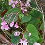 Begonia grandis subsp evansiana - 2016 (Begonia grandis)