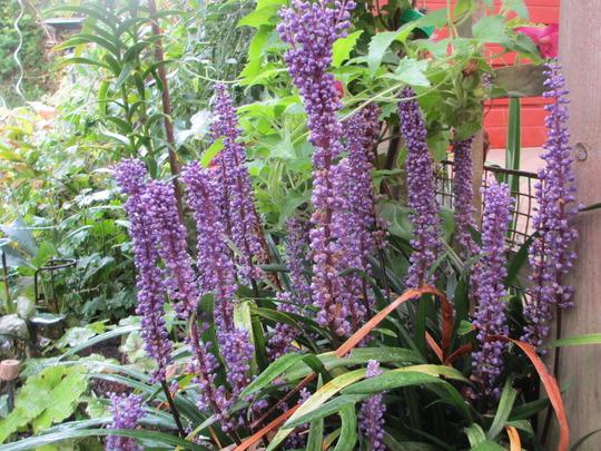 Liriope muscari (Liriope muscari (Lilyturf))