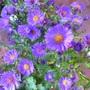 Aster Novi-Belgii 'Believer Purple'