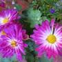 Garden_mum_stacy_pink2a