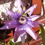 The Passion Flower is flowering again :) (Passiflora caerulea (Passion flower))