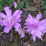 Colchicum_autumnale_water_lily_2016