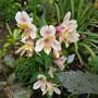 Alstromeria.... (Alstroemeria aurea (Peruvian lily))