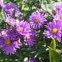 Aster (Aster)