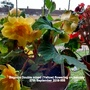 Begonia Double mixed (Yellow) flowering on balcony 27th September 2016 008 (Begonia)