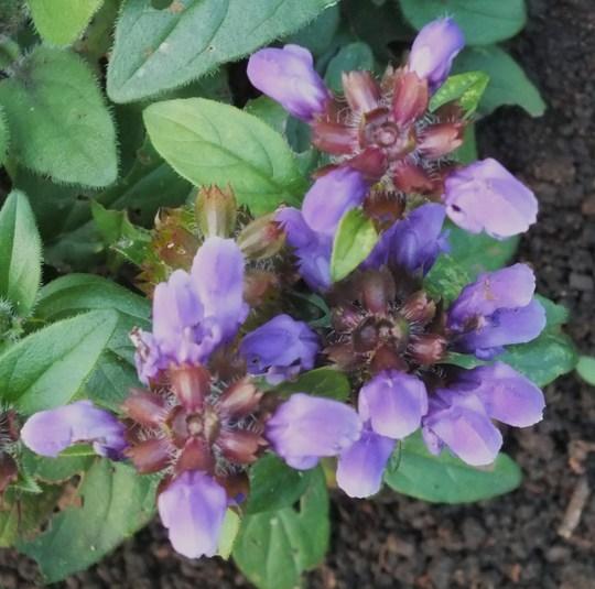 Prunella 'Freelander Blue' (Prunella grandiflora (Bigflower Self-Heal))