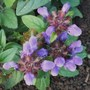 Prunella 'Freelander Blue' (Prunella grandiflora (Bigflower Self-Heal))