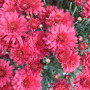 New Chrysanthemum 1 (Chrysanthemum)